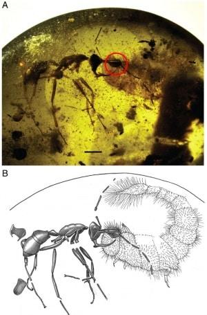 Linguamyrmex vladi, formiche, cretaceo