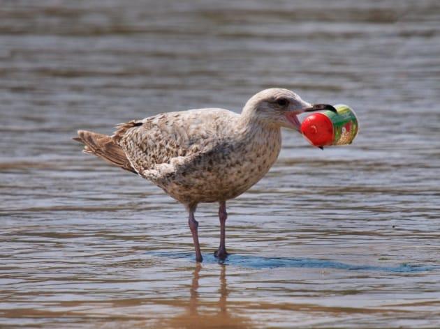 Ecco perché gli uccelli marini inghiottono plastica