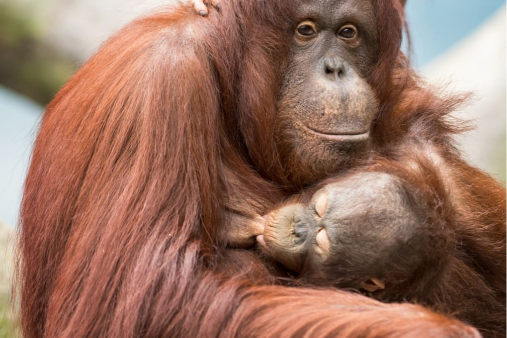 Gli oranghi a rischio riportano l'attenzione sull'olio di palma