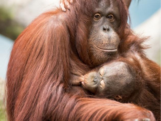 Agli oranghi il record di allattamento