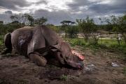 Corni falsi per salvare i rinoceronti