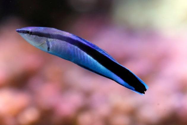 Il pesce pulitore sembra sapersi riconoscere allo specchio - Test dello specchio ...
