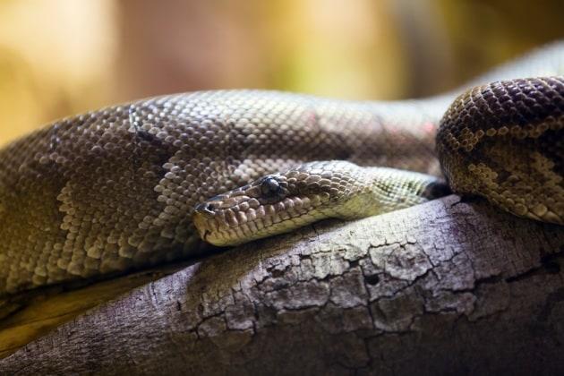 Anche i serpenti sanno cacciare in branco