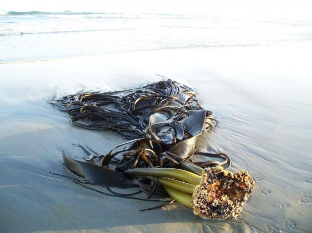 alga-kelp