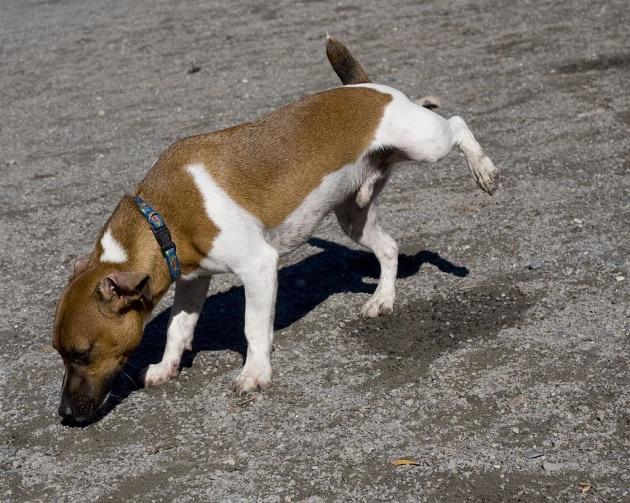 I cagnolini fanno la pipì in alto per sembrare più grandi