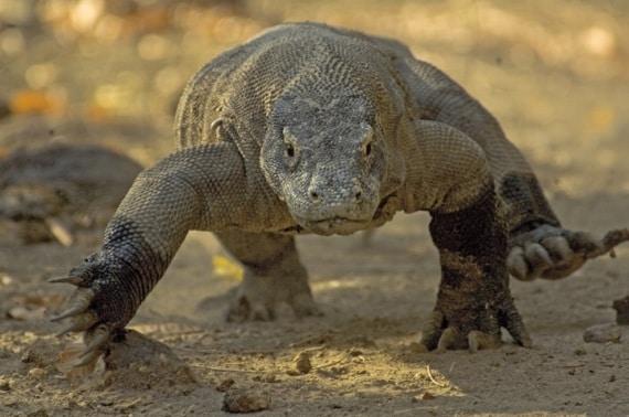 Parco Nazionale di Komodo - Drago di Komodo