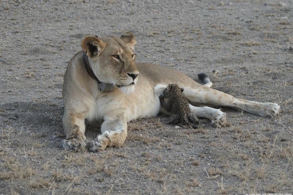 Perché una leonessa ha adottato un leopardo
