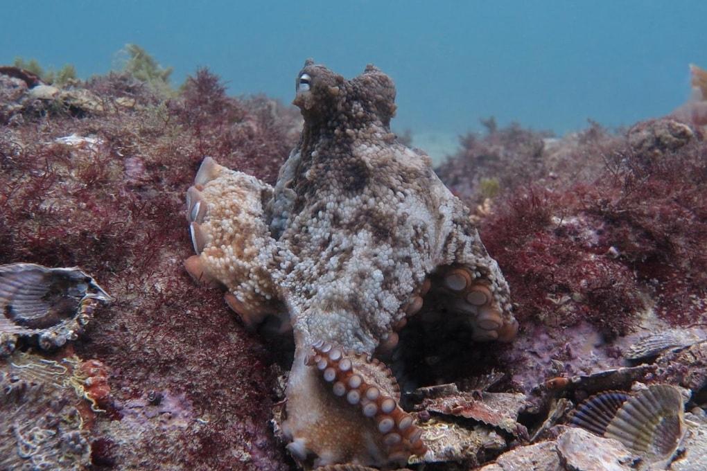 Octopolis e Octlantis: le città sommerse dei polpi