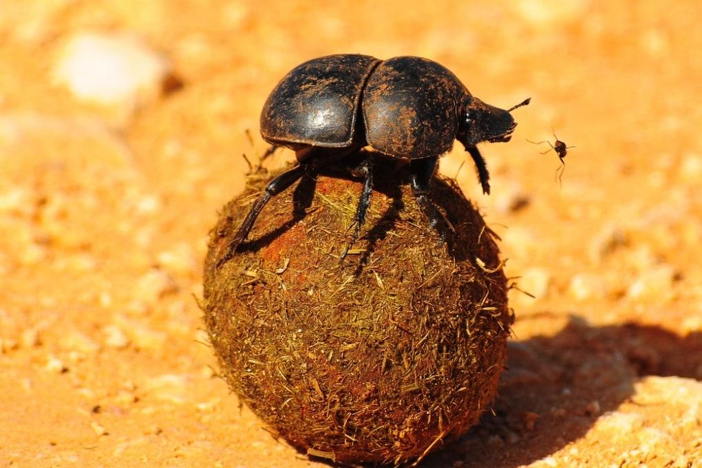 Come gli insetti usano gli escrementi: i propri, quelli della comunità e quelli di altri animali