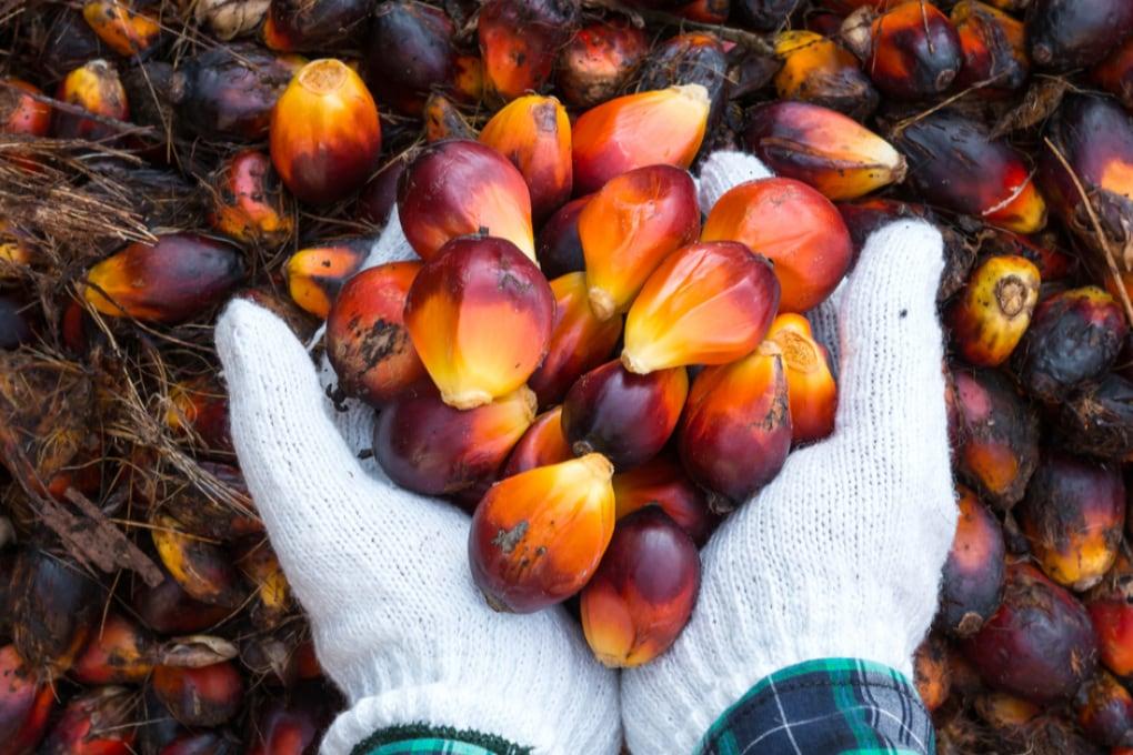 L'olio di palma è dannoso per l'ambiente?