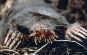 talpa dal muso stellato, Condylura cristata