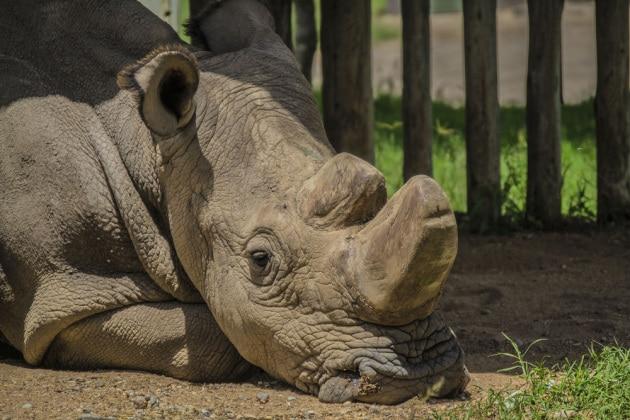 sudan_rinoceronte_bianco