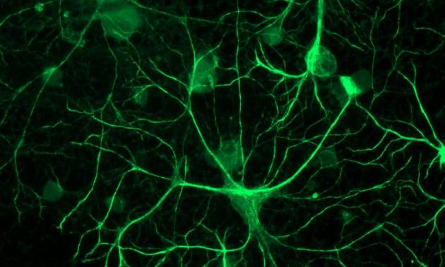 Gli astrociti tengono il tempo nel cervello
