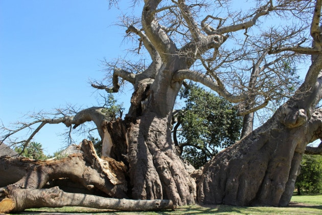 baobab_apertura