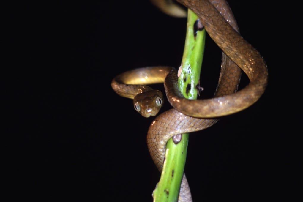 Sull'isola di Guam, i serpenti uccidono la foresta