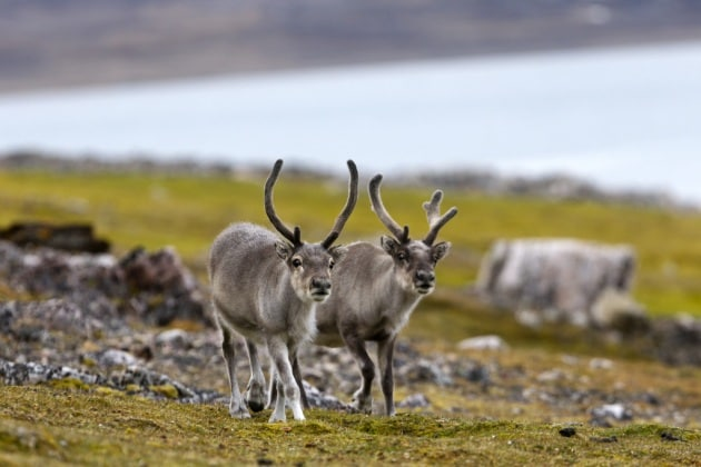 Rudolph e le altre renne frenano il global warming
