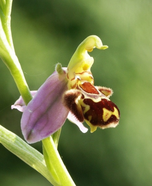 foto5_ophrys