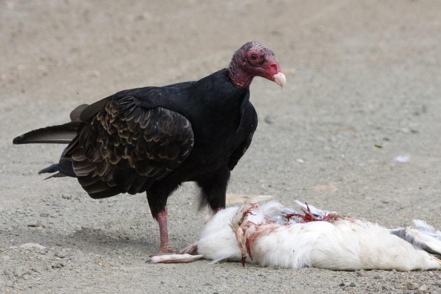 kevincole_turkey_vulture_feeding