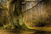 longevita_alberi-secolari