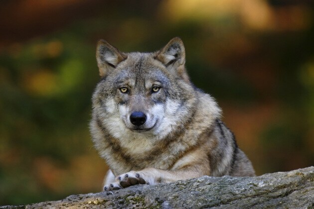 I lupi di Chernobyl trasportano radiazioni?