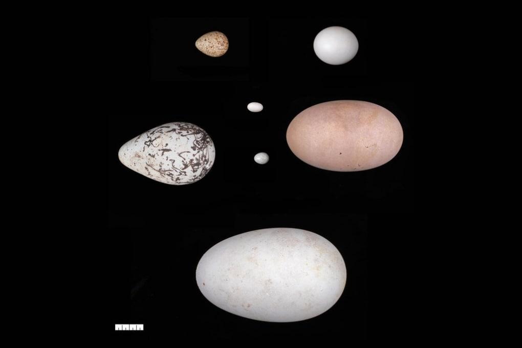 Da rotonde a ellittiche: perché ci sono così tante forme differenti di uova