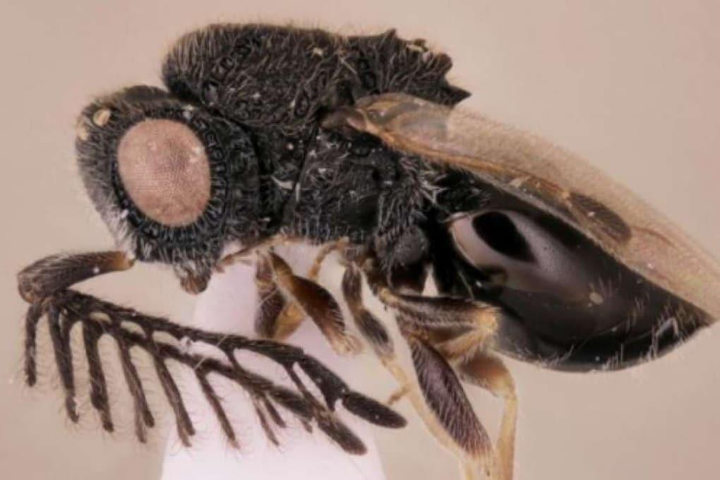 La vespa parassita col seghetto incorporato