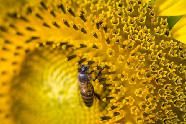 La tattica kamikaze delle api: arrostire i calabroni