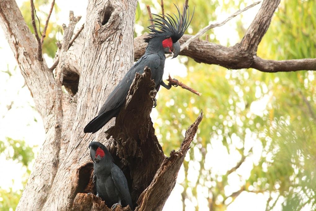 Il pappagallo batterista che suona con le bacchette