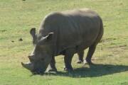 northern_white_rhinoceros_angalifu