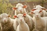 La pecora che non ti aspetti