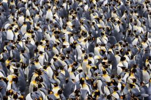 pinguini reali, colonie, fisica dei fluidi