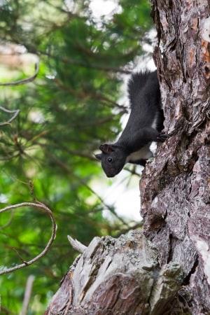 scoiattolo nero calabrese, Sciurus meridionalis, fauna italiana
