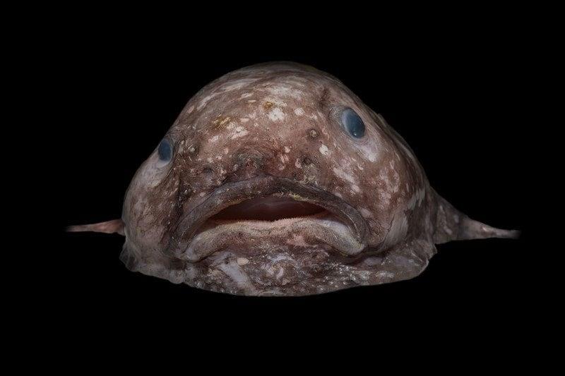 blob-fish_credit_rob-zugaro-800x533