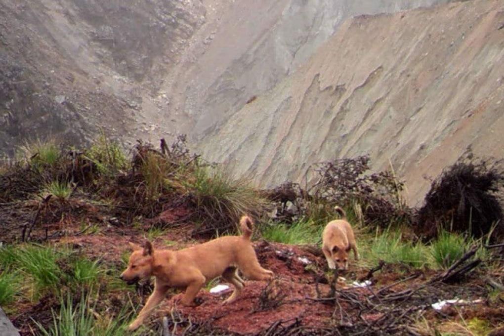 Riscoperto e fotografato il cane più raro al mondo
