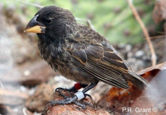 Scoperta una popolazione di fringuelli delle Galapagos nell'atto di diventare una nuova specie