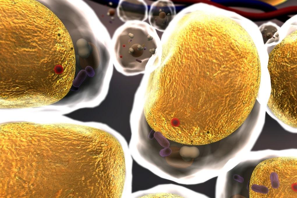 Le cellule di grasso tappabuchi per le ferite