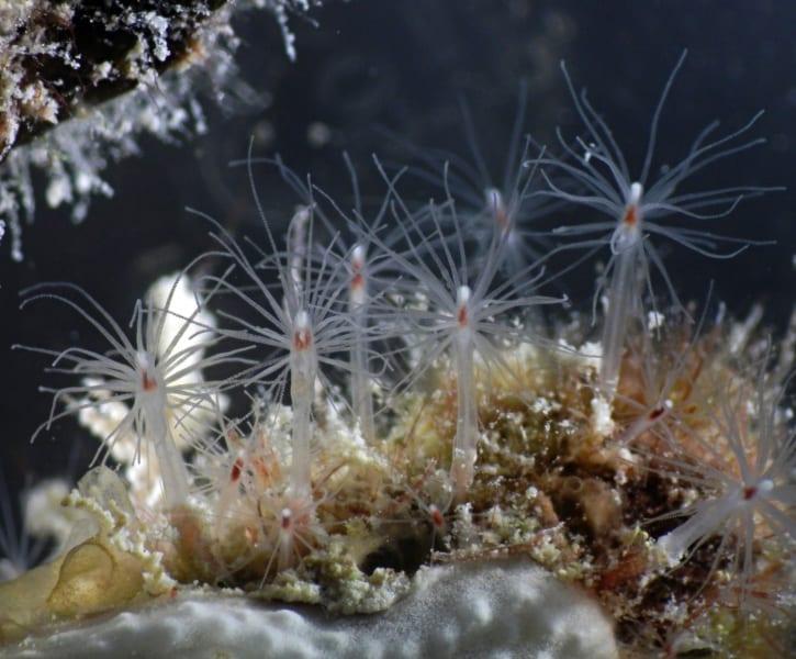 01.-polipi-di-una-colonia-di-piccole-dimensioni
