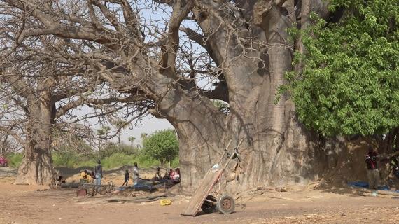 alberi, Africa, baobab, Adansonia, piante, biodiversità, botanica, longevità