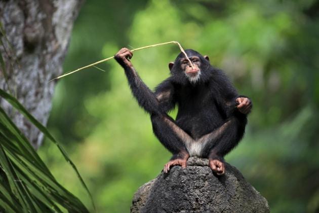Primati: 11 comportamenti tipicamente umani