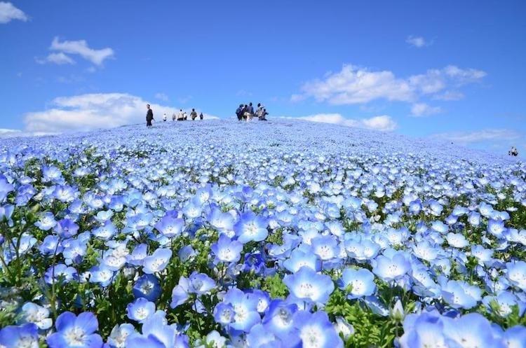 nemophila-blooms-hitachi-seaside-park-blue-flowers-2