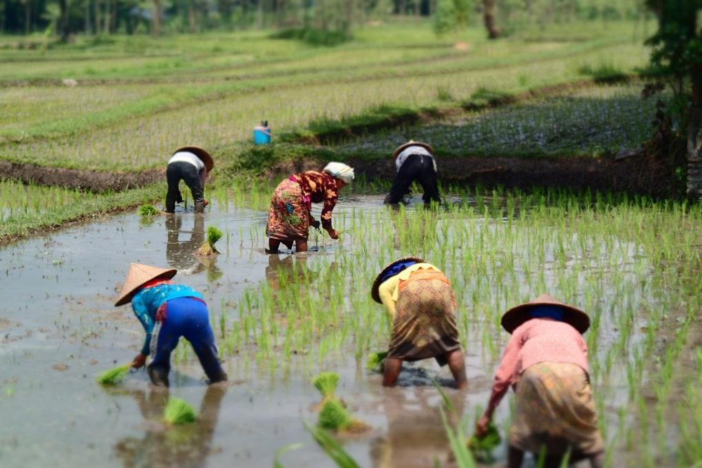 L'aumento delle emissioni di anidride carbonica riduce il valore nutrizionale del riso