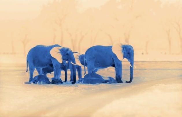 Sonno, agli elefanti bastano due ore