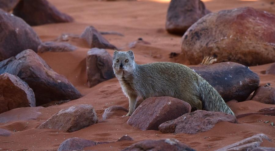 namibia-mangusta-valeriano