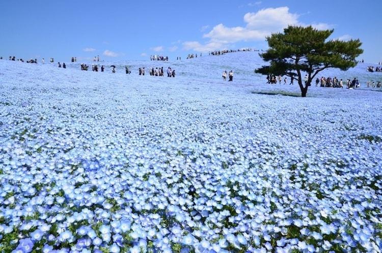 nemophila-blooms-hitachi-seaside-park-blue-flowers-4
