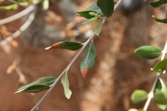 sputacchina, Philaenus spumarius, xylella, Xylella fastidiosa, olivi, economia, alimentazione