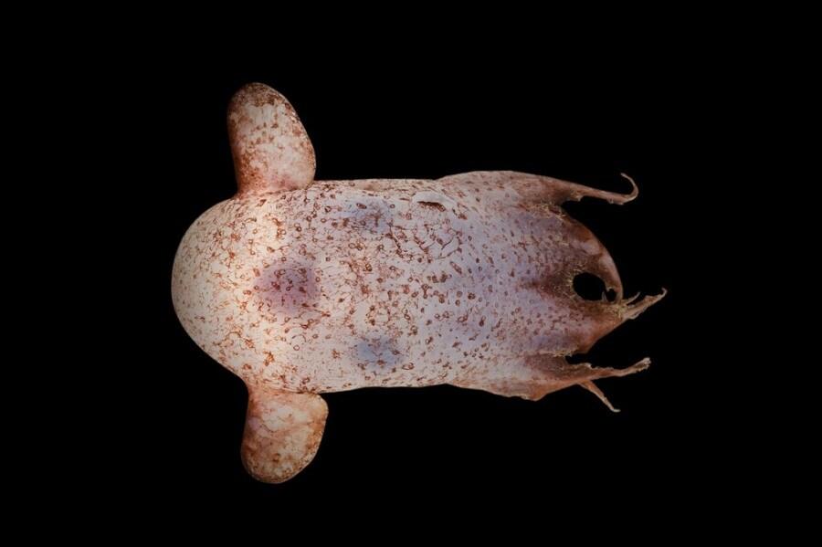 dumboctopus