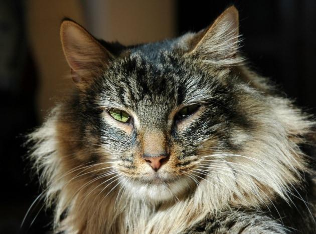 Influenza aviaria, primo contagio da gatto a uomo