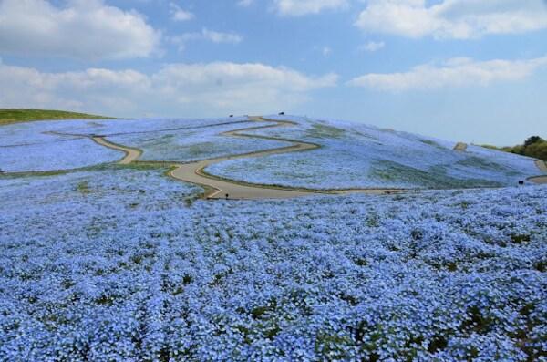 nemophila-blooms-hitachi-seaside-park-blue-flowers-5