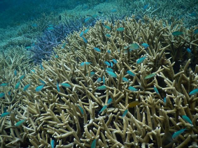 A rischio il 99% della più grande barriera corallina giapponese