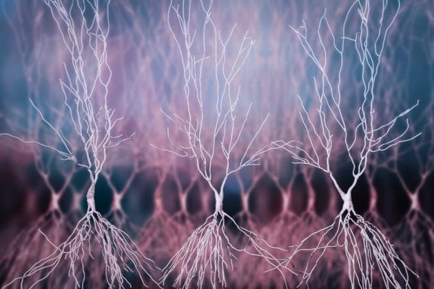 La creazione di neuroni nell'ippocampo potrebbe cessare con l'età adulta